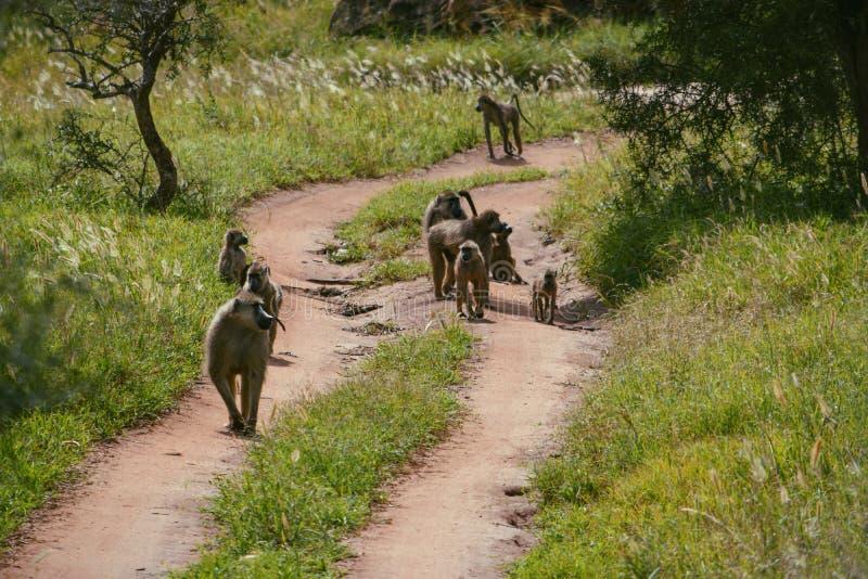 Babianer på en grusväg, Tsavo royaltyfri fotografi