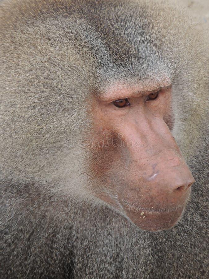 Babianhuvud arkivfoto