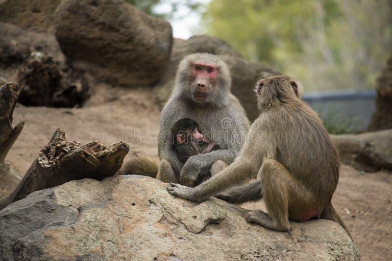 Babianmoder som matar henne för att behandla som ett barn arkivfoto