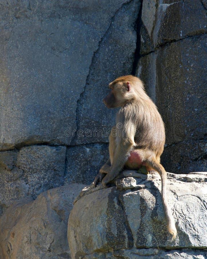 Babiansammanträde på en vagga som går till badrummet royaltyfri fotografi