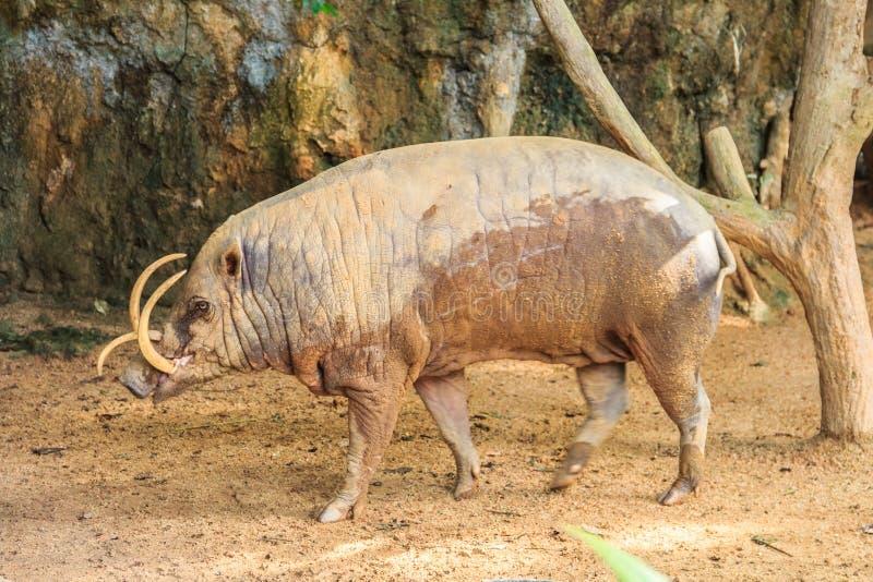 Babirusa σε έναν ζωολογικό κήπο στοκ φωτογραφίες με δικαίωμα ελεύθερης χρήσης