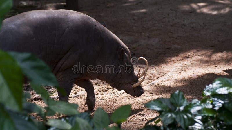 babirusa στοκ φωτογραφία με δικαίωμα ελεύθερης χρήσης