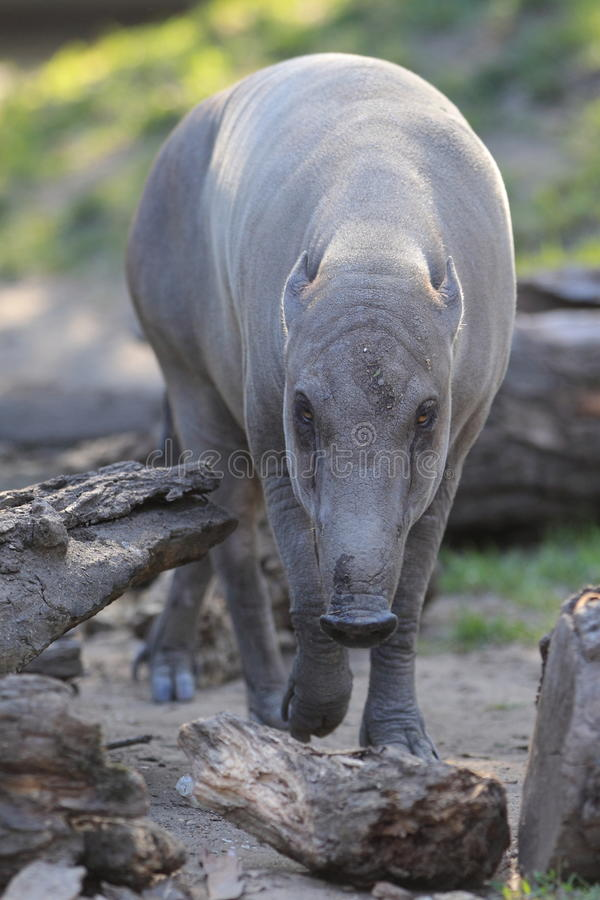 Free Babirusa Royalty Free Stock Photos - 25104198