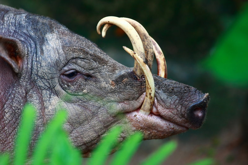 Babirusa Stock Photography
