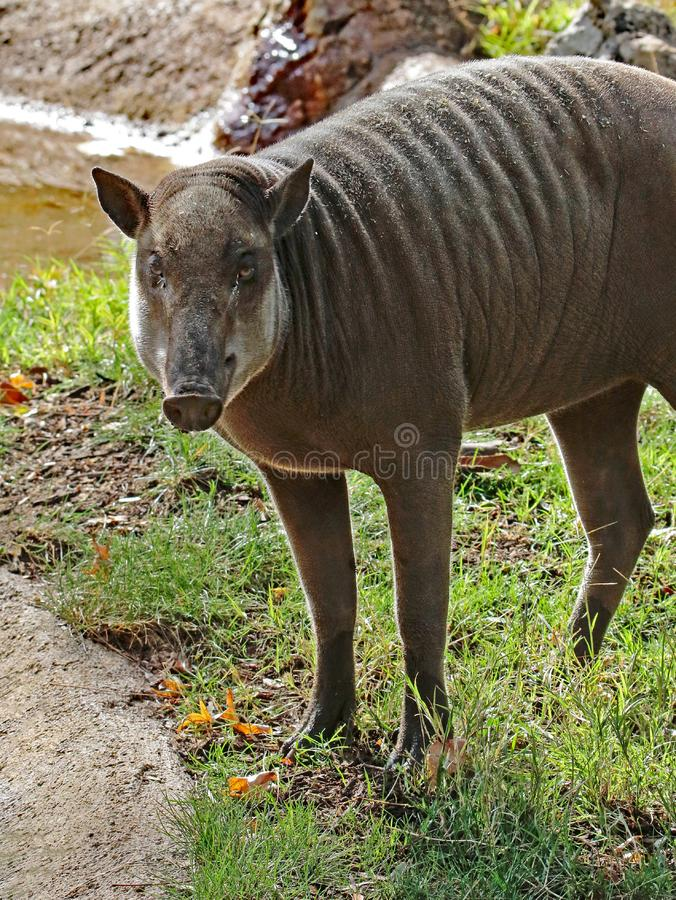 Babirusa. Indonesian Female Pig Looking At Viewer royalty free stock image