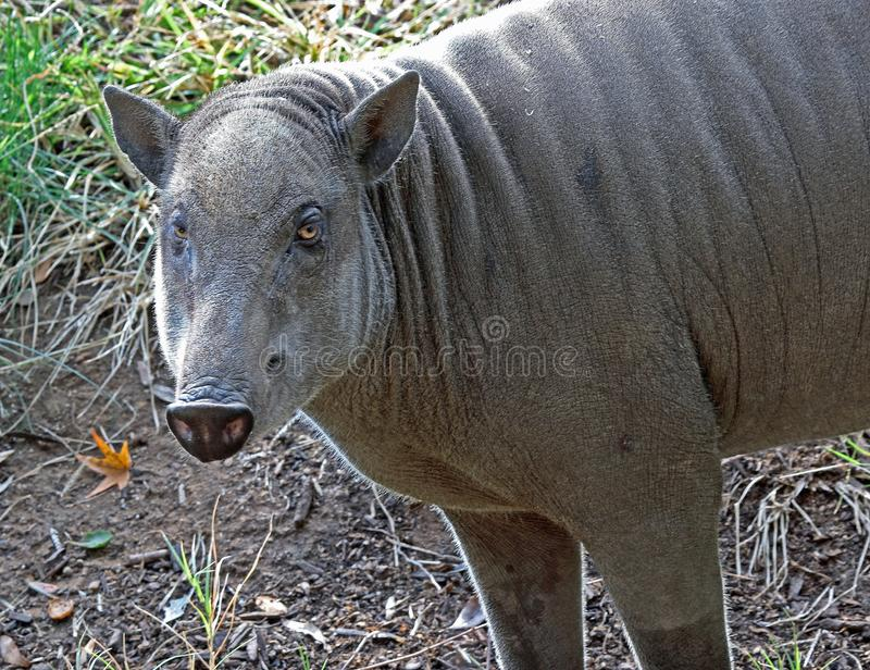 Babirusa. Indonesian Female Pig Looking At Viewer stock image