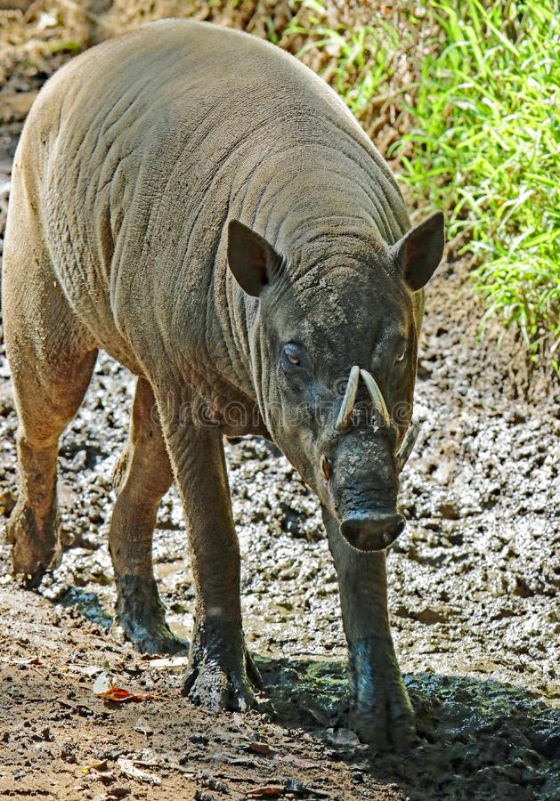 Babirusa. Indonesian Male Pig With Curved Tusks stock image