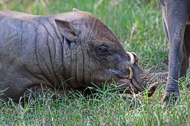 Babirusa. Indonesian Male Pig With Curved Tusks Laying In Grass stock photos