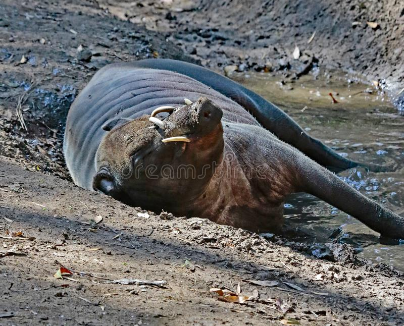 Babirusa. Indonesian Male Pig With Curved Tusks Laying In Mud royalty free stock photos