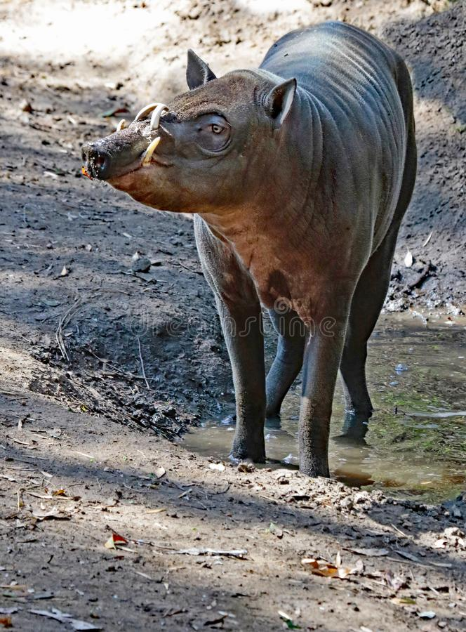 Babirusa. Indonesian Male Pig With Curved Tusks Standing In Mud royalty free stock photo