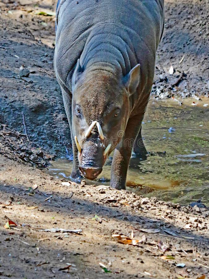 Babirusa. Indonesian Male Pig With Curved Tusks Standing In Mud stock image
