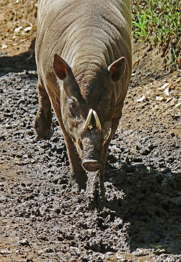 Babirusa. Indonesian Male Pig With Curved Tusks Walking stock photos