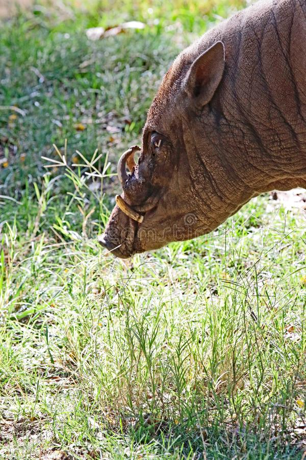 Babirusa. Indonesian Male Pig In Profile stock photography