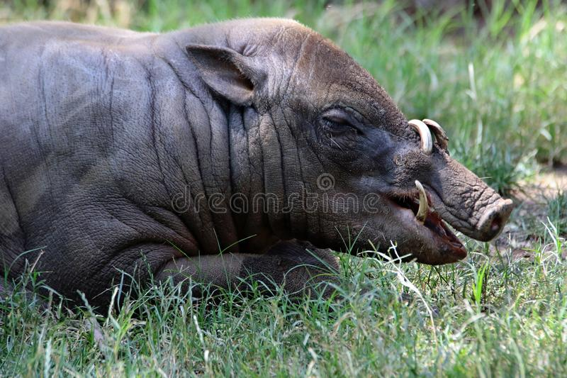 Babirusa. Indonesian Male Pig Showing Curved Tusks stock photography