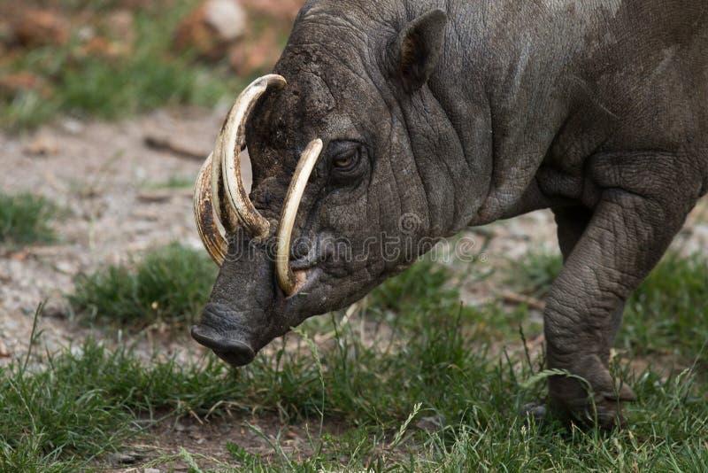 Babirusa norte de Sulawesi, cervo-porco, homem fotos de stock royalty free