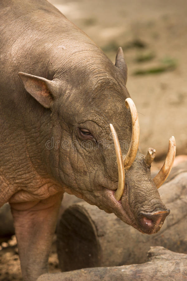 Free Babirusa Portrait Royalty Free Stock Photo - 12675595