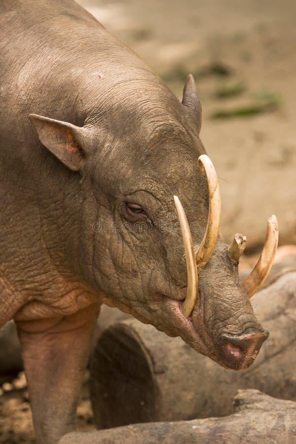 babirusa portret zdjęcie royalty free