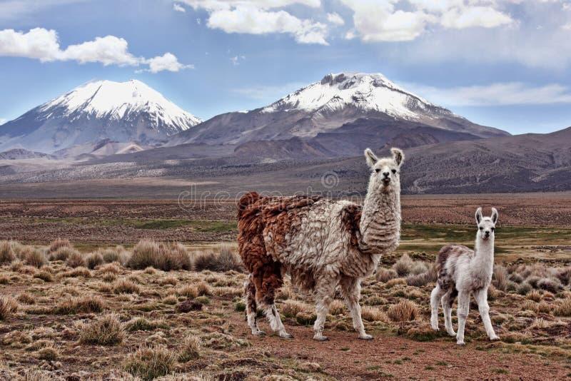 Bably en lama och en moder på den bolivianska Altiplanoen royaltyfri fotografi
