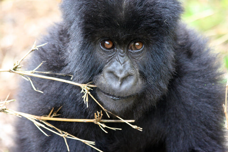 Bably Mountian Gorilla in Rwanda. Close up of a crawling baby mountain gorilla in Volcanoes National Park, Rwanda royalty free stock photo