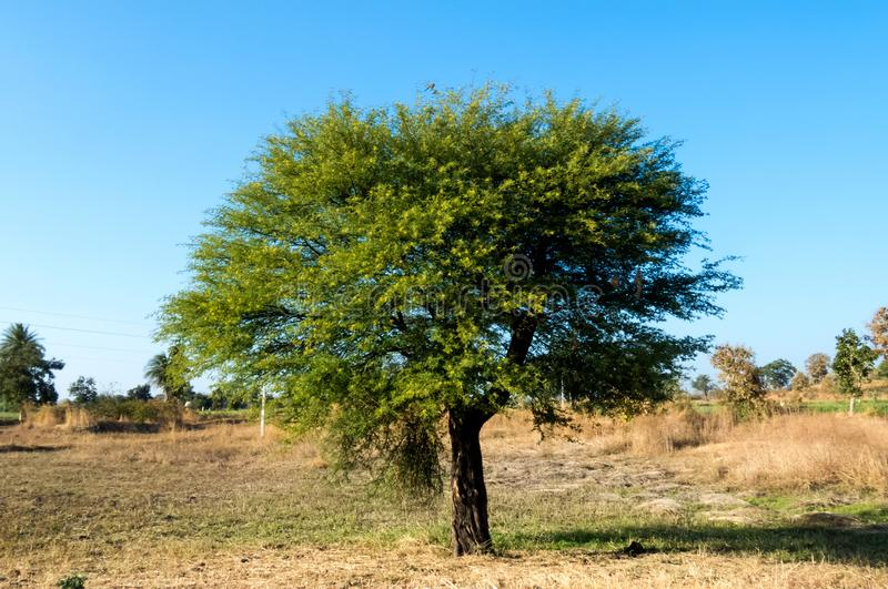 Babool Tree/Gum Arabic Tree/Thorn Mimosa Tree-India. Babool Tree/Gum Arabic Tree/Thorn Mimosa Tree in a field near Indore, India. Its flowering and birds are royalty free stock photography