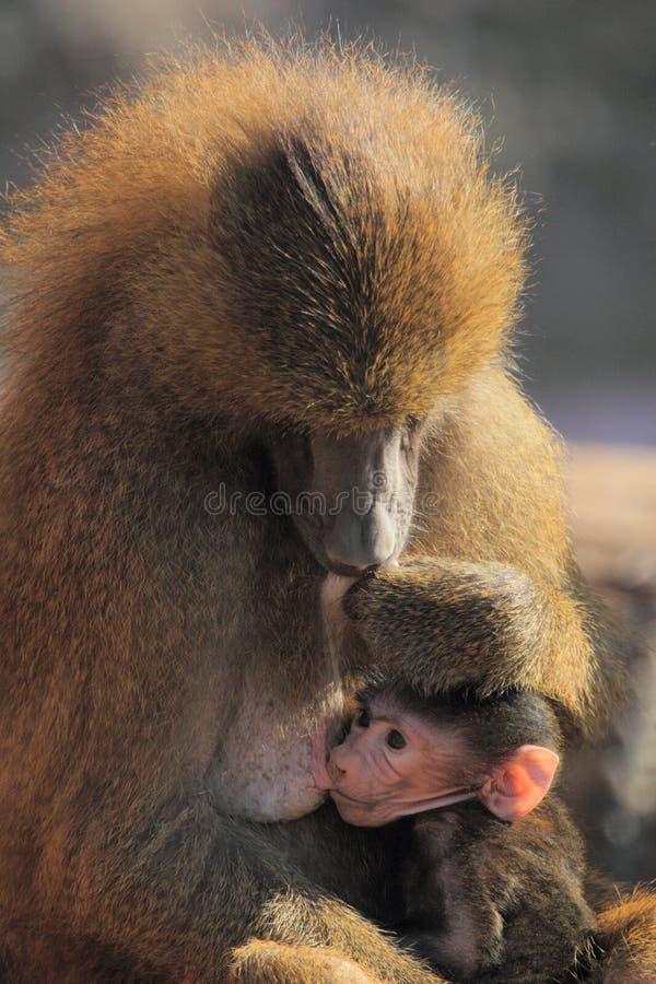 baboon απορρόφηση της Γουινέας στοκ εικόνα