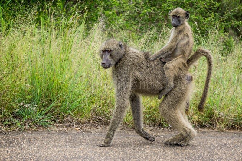 Baboon γύρος στην Αφρική στοκ φωτογραφία με δικαίωμα ελεύθερης χρήσης
