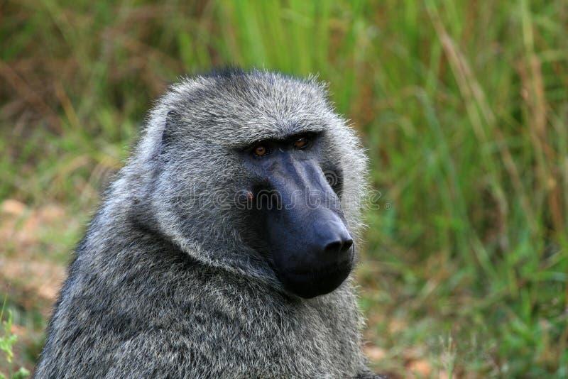Baboon ελιών, Ουγκάντα, Αφρική στοκ φωτογραφίες