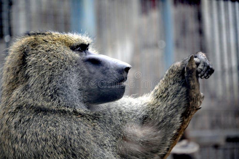 Baboon ελιών που κλίνει στο βιότοπο Qingdao, Κίνα στοκ εικόνα