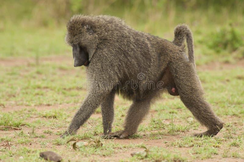 Baboon ελιών περπάτημα στοκ εικόνα