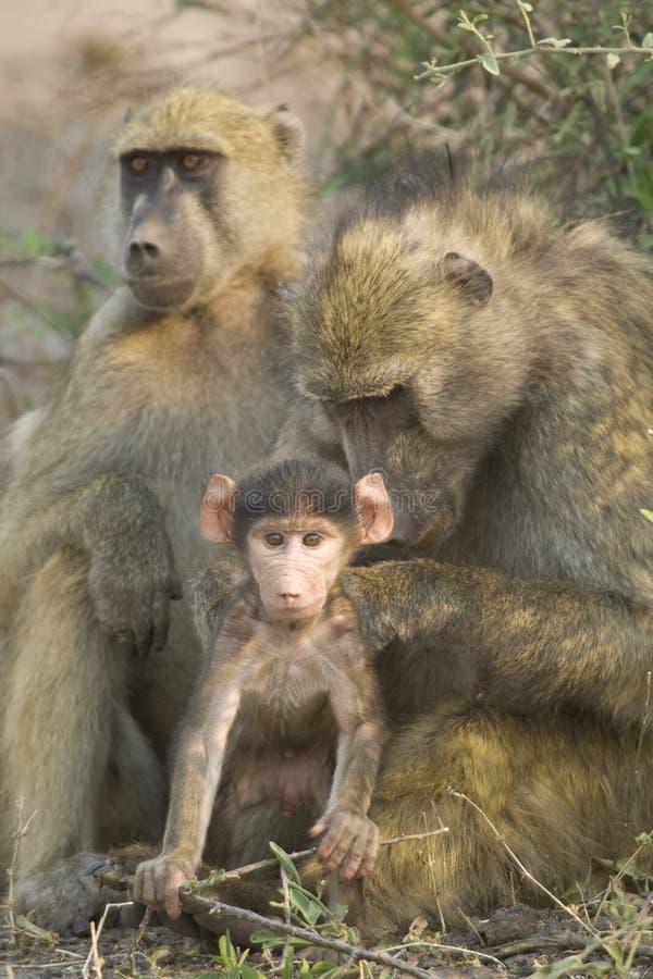 baboon καλλωπίζοντας μητέρα chacma της Μποτσουάνα μωρών στοκ φωτογραφίες