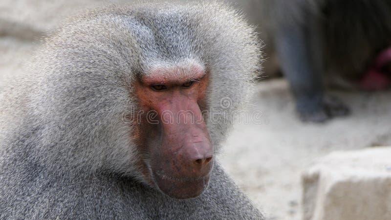 Baboon κινηματογράφηση σε πρώτο πλάνο πορτρέτου στοκ εικόνες με δικαίωμα ελεύθερης χρήσης