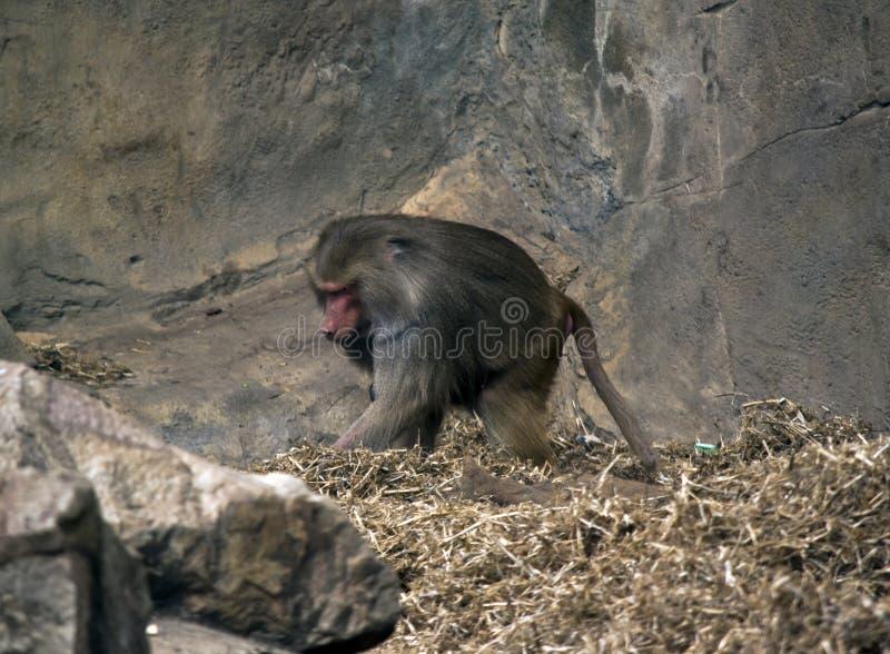 Baboon μητέρων με το μωρό στοκ εικόνα με δικαίωμα ελεύθερης χρήσης