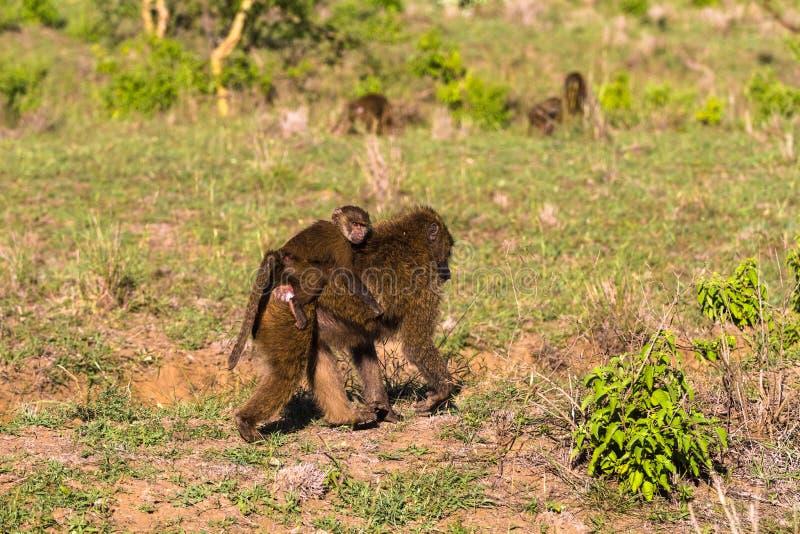 baboon μωρό Σαβάνα της Κένυας, Αφρική στοκ φωτογραφίες