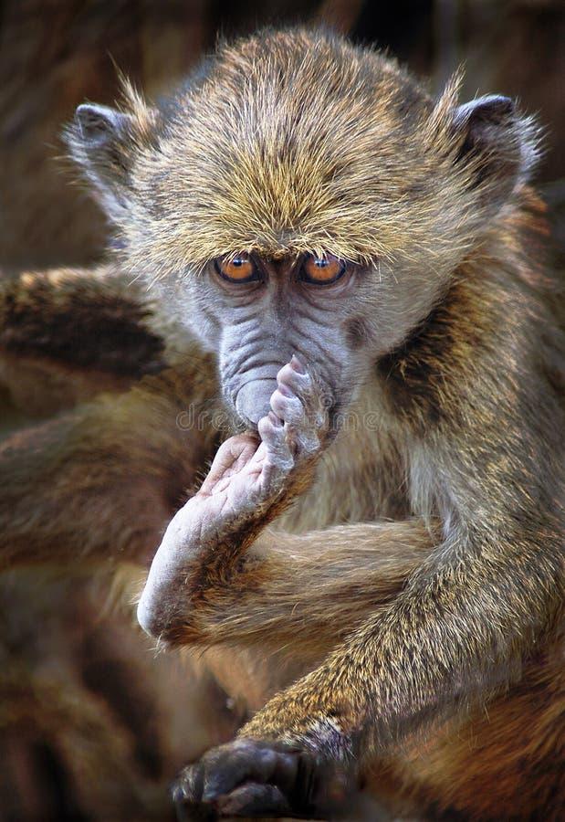 baboon μωρό στοκ φωτογραφίες με δικαίωμα ελεύθερης χρήσης