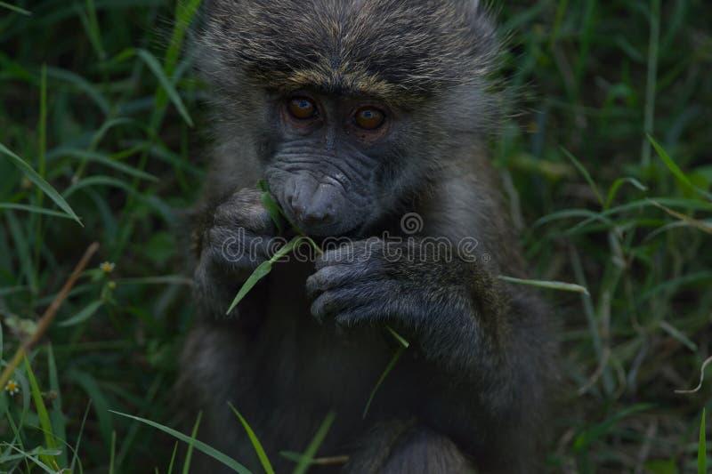Baboon μωρών σαβανών στοκ φωτογραφία με δικαίωμα ελεύθερης χρήσης