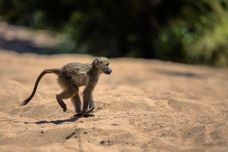 Baboon μωρών στο εθνικό πάρκο Kruger στοκ φωτογραφία με δικαίωμα ελεύθερης χρήσης