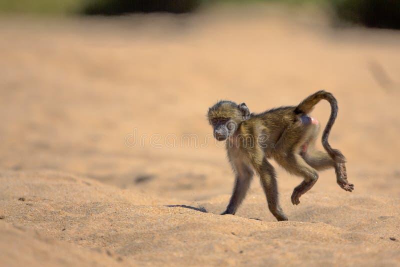 Baboon μωρών στο εθνικό πάρκο Kruger στοκ φωτογραφία