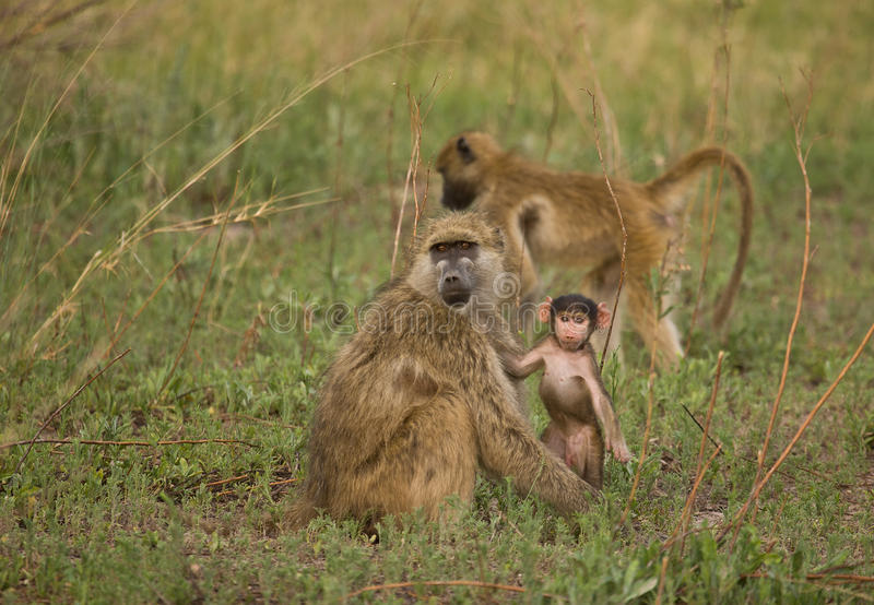 baboon νεανικό papio cynocephalus chacma στοκ φωτογραφίες