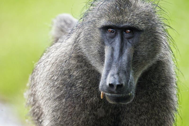 Baboon πορτρέτο, Νότια Αφρική στοκ φωτογραφίες