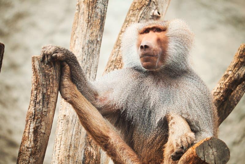 Baboon πορτρέτο στοκ φωτογραφία με δικαίωμα ελεύθερης χρήσης