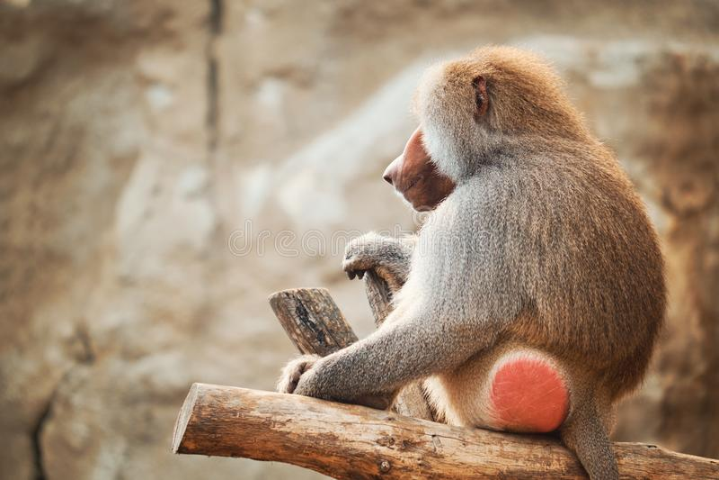 Baboon πορτρέτο στοκ εικόνες με δικαίωμα ελεύθερης χρήσης