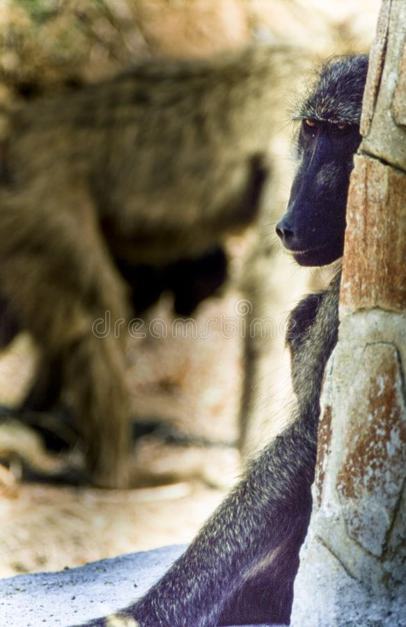 Baboon σαβανών στοκ φωτογραφία με δικαίωμα ελεύθερης χρήσης