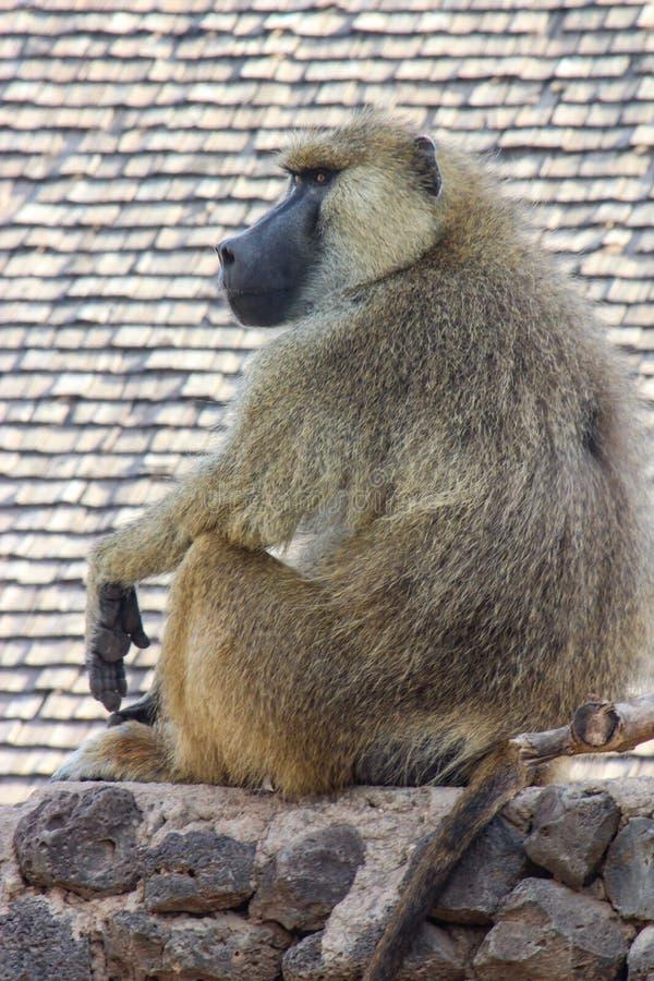 Baboon στην Κένυα στοκ φωτογραφία