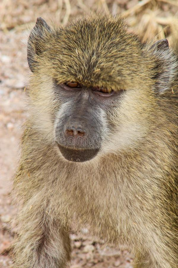 Baboon στην Κένυα στοκ εικόνα με δικαίωμα ελεύθερης χρήσης
