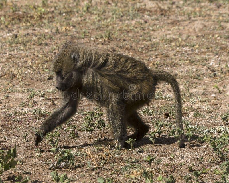 Baboon στην Τανζανία στοκ εικόνα με δικαίωμα ελεύθερης χρήσης