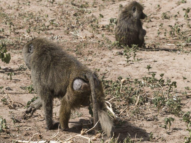 Baboon στην Τανζανία στοκ φωτογραφία με δικαίωμα ελεύθερης χρήσης