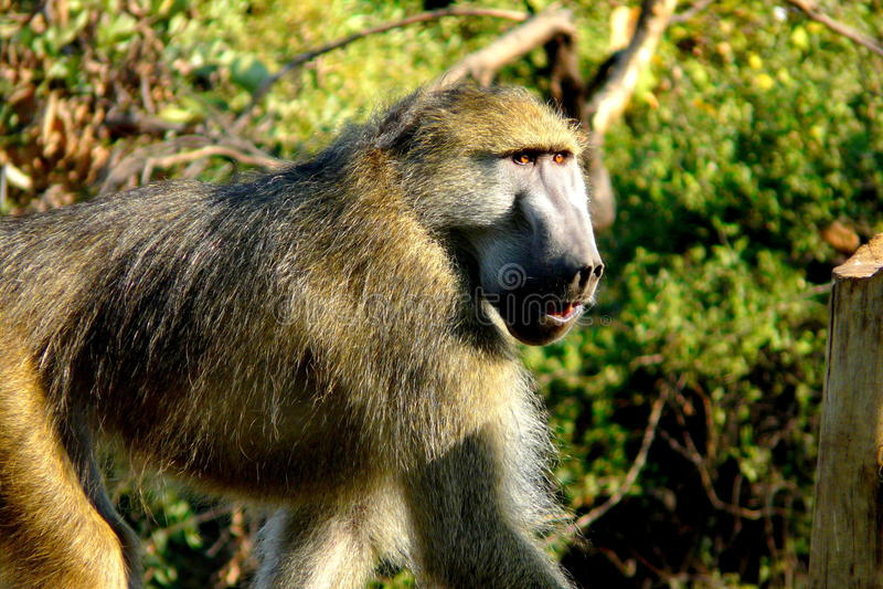 Baboon στη Μποτσουάνα, Αφρική στοκ φωτογραφίες