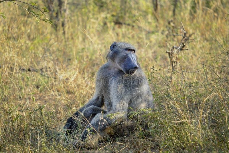 Baboon στις άγρια περιοχές στοκ εικόνα