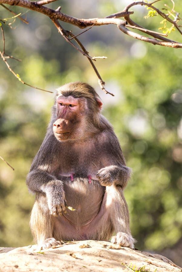 Baboon στο βράχο στοκ φωτογραφίες με δικαίωμα ελεύθερης χρήσης