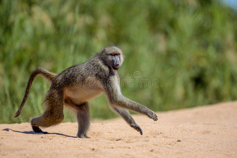 Baboon στο εθνικό πάρκο Kruger στοκ εικόνα με δικαίωμα ελεύθερης χρήσης